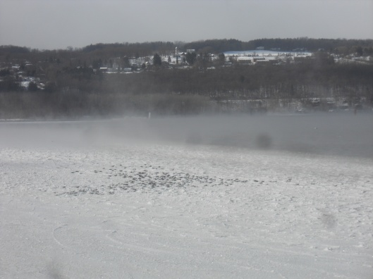 ducks huddled on Cayuga Lake ice 1-22-14