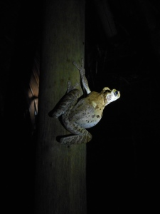 sounding here, there... tree frogs in the night somewhere
