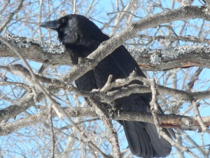 the crow circling like a hawk but it is a crow