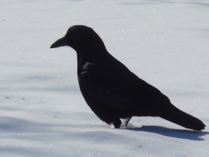 crow caws at daybreak- if that were all