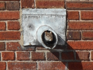 is it really spring now!?squirrel peeking out  from a drain pipe