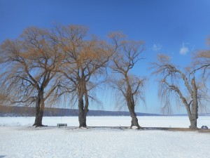 four willows  standing through another winter