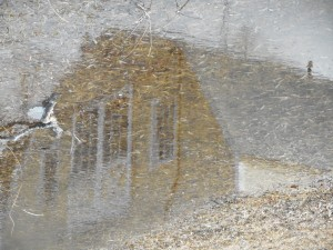 pausing... in the puddle the pig barn