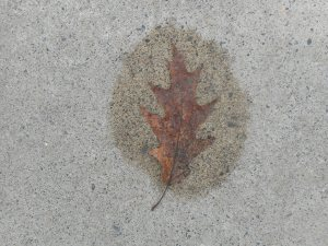 after the rain the sidewalk begins to dry around leaves holding their wetness