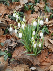 sure as spring the snowdrops push through leaves