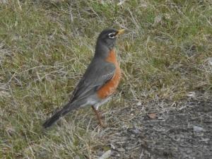 ready robin bounces across the lawn