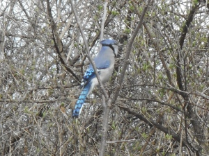 blue jay... my day spent without any scolding