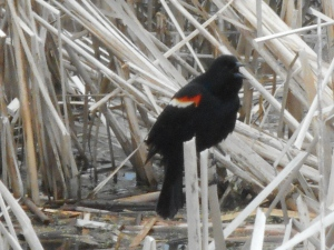 in mid call a red-winged blackbird in the cattails