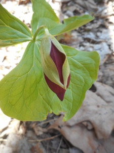 trillium getting ready to emerge