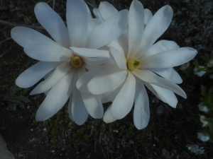 sugar magnolia... the star of blossom on the street