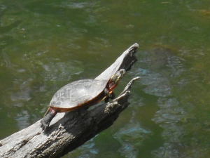 sunning the day away turtle time...