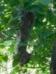 squirrel upside down in a slippery elm