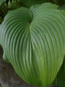 hosta- I linger in the moment before moving on...