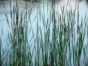 evening calm... at attention the cattails