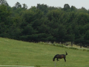 mid afternoon out to pasture grazing in the grass...