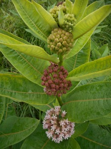 milkweed on one plant from bud to bloom...