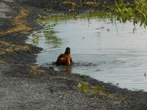 bathing in the puddle a robin