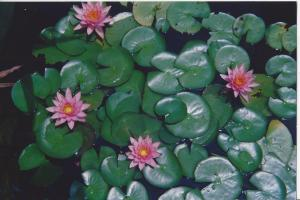 Virginia ashram- in the lotus pond the heat