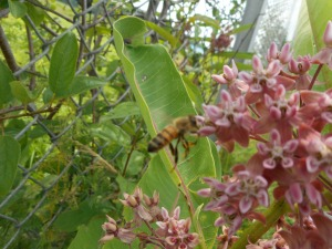 high humidity- poised at the milkweed a honeybee
