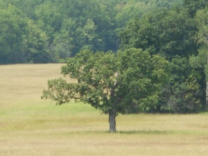 alone in the field a tree with its shade