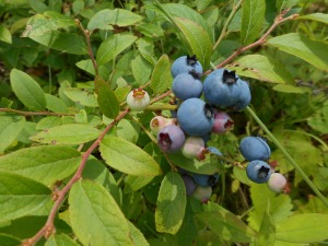 along the path I stop to sample from a blueberry patch....