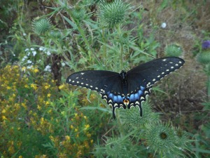 black swallowtail chooses to settle a spell  on a  purple  thistle