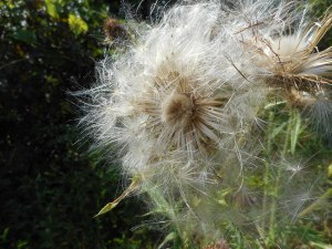 gone to seed the thistle takes on a new beauty