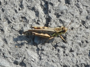late summer time for grasshoppers to do their thing...