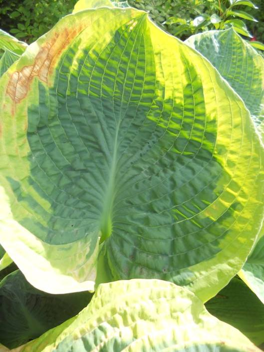 Probably 'Francis Williams' the first named Hosta variety.