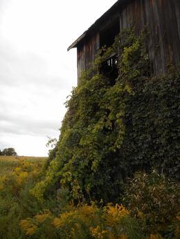 barn-vines-climbing