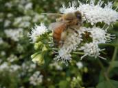 honeybee-at-work