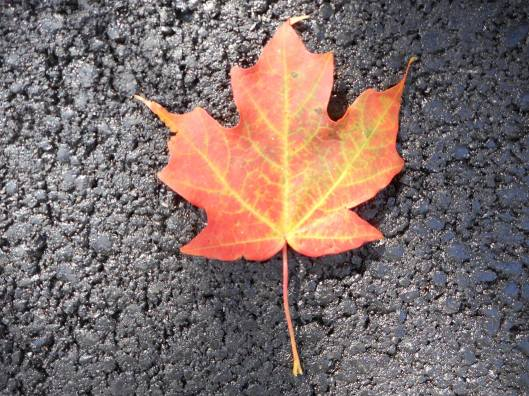 maple-leaf-with-autumn-blush