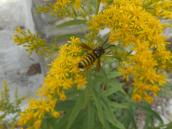 yellow-jacket-in-goldenrod