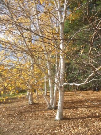 birches-10-24-13