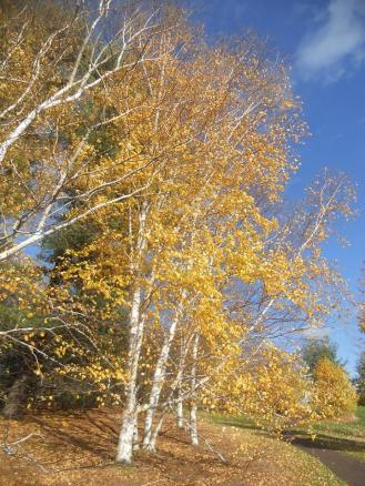 birches-at-cornell-plantations-10-24-13