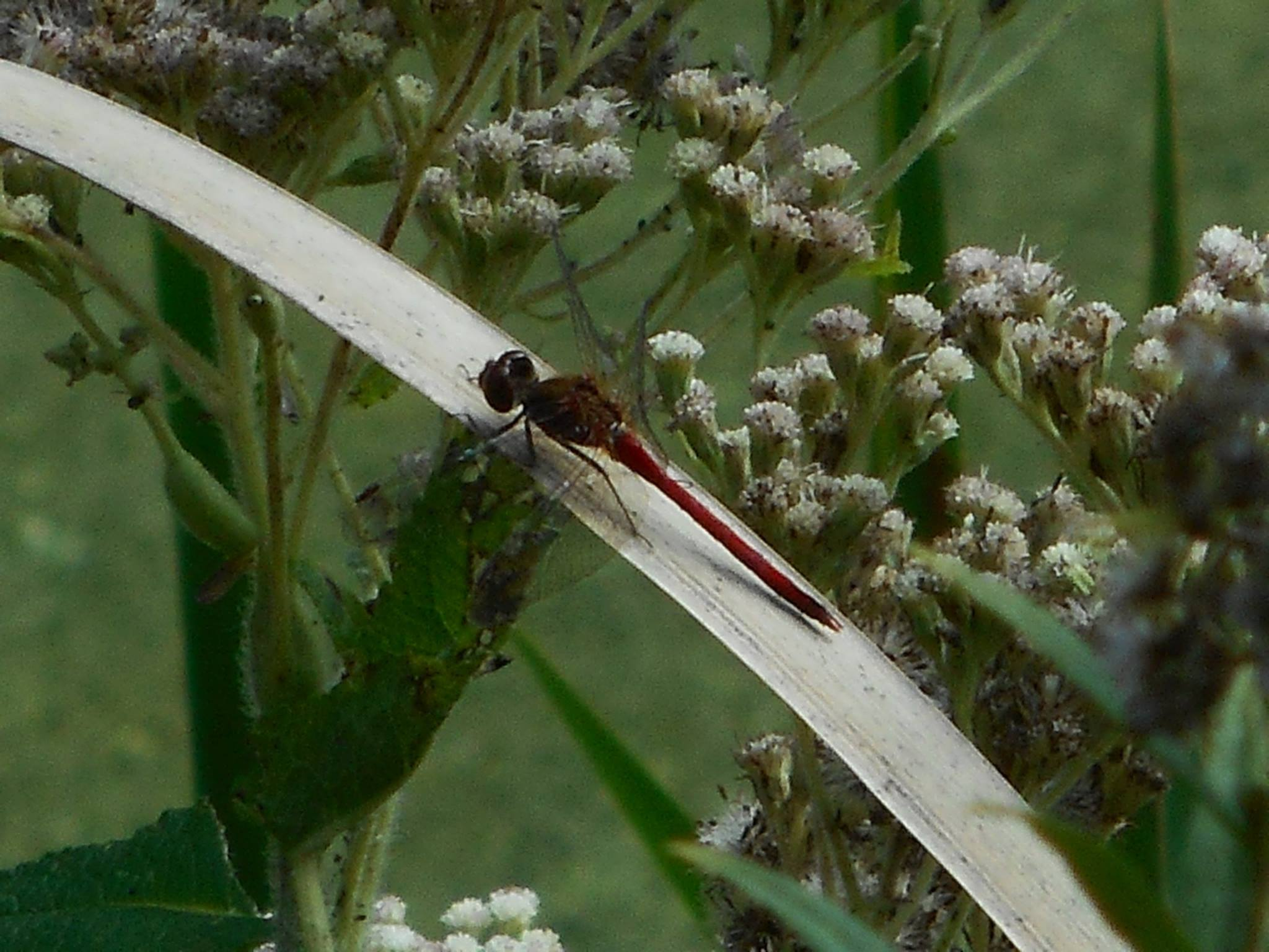 dragonfly-red-one-in-fall-creek