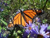 i-saw-several-more-monarchs-floating-on-the-cloudless-blue-sky-very-subtle-breezes-and-feeding-on-asters-here-is-one-i-followed-around-to-watch-it-feeding
