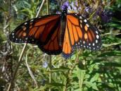 monarch-10-5-15-b