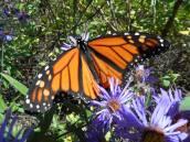 monarch-10-5-15-l