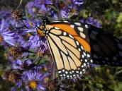 monarch-on-aster-10-5-15-a