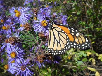monarch-on-asters-10-5-15-g