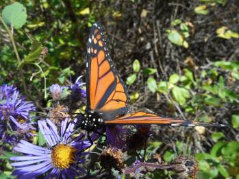 monarch-open-on-asters-10-5-15-h