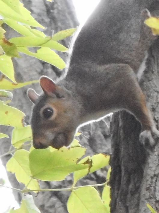 squirrel-with-an-acorn-in-its-mouth-became-very-concerned-that-i-might-be-interested-in-that-acorn