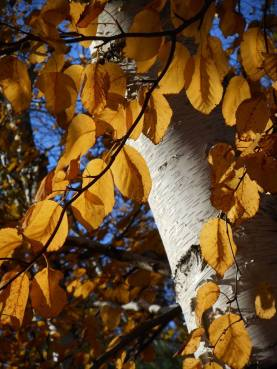 birch-with-golden-leaves-10-31-15