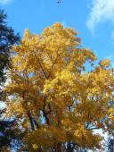 ithaca-cemetery-tree-crown-in-autumn-glory