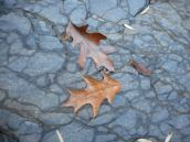 oak-leaves-on-the-bed-rock-lines