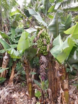 peru-banana-trees