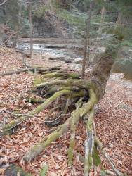 roots-holding-the-tree-from-downstream