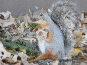 squirrel-at-work-building-a-nest
