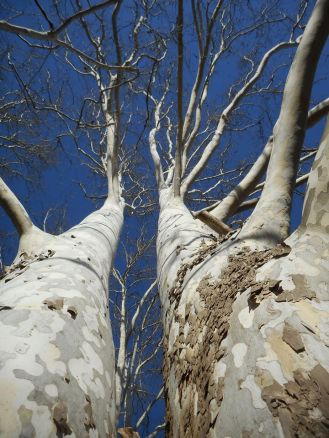 twin-sycamores-so-close-all-the-way-up